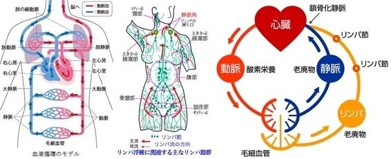 血液とリンパ.jpg